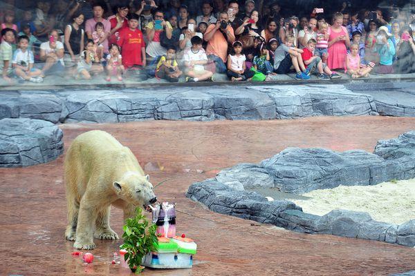 sem13decl-Z13-Joyeux-anniversaire-ours-zoo-Singapour.jpg