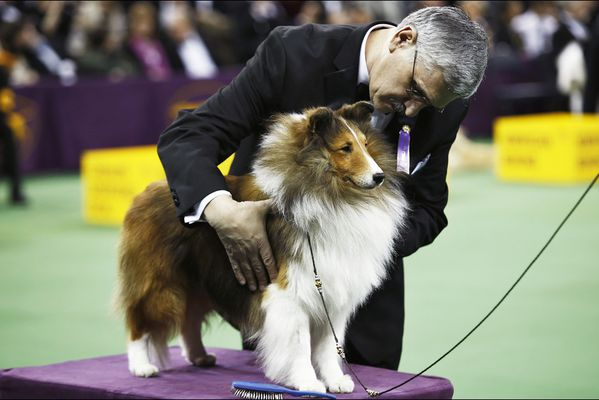 sem14feve-Z12-Chien-de-competition-Westminster-Kennel-Club-.jpg