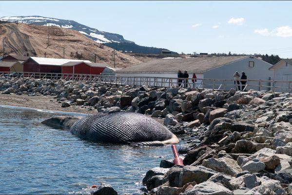 sem14maia-Z9-Attention-a-l-explosion-baleine-echouee-Canad.jpg