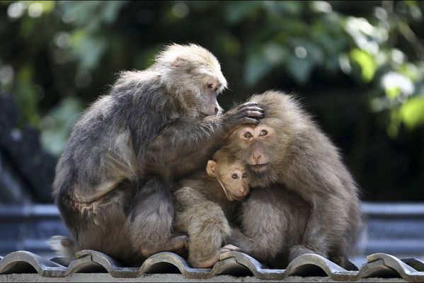 sem14maih-Z12-Ensemble-famille-macaques-a-face-rouge-Chine.jpg