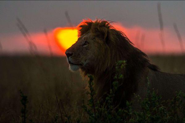 sem14juie-Z19-crepuscule-de-la-savane-lion.jpg