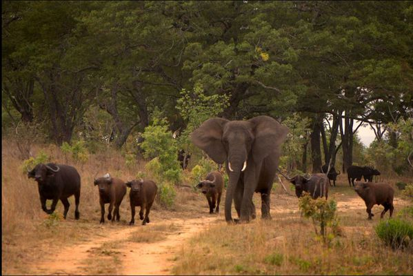 sem14juii-Z5-l-elephant-qui-vit-avec-les-buffles-Zimbabwe.jpg