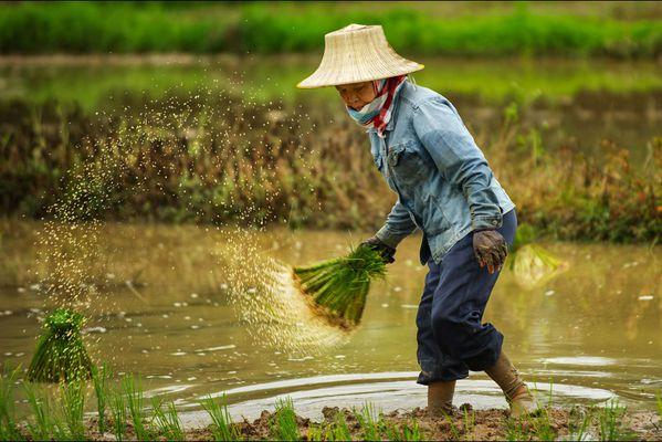 sem14juln-Z3-Dur-travail-plantation-riz-Thailande.jpg
