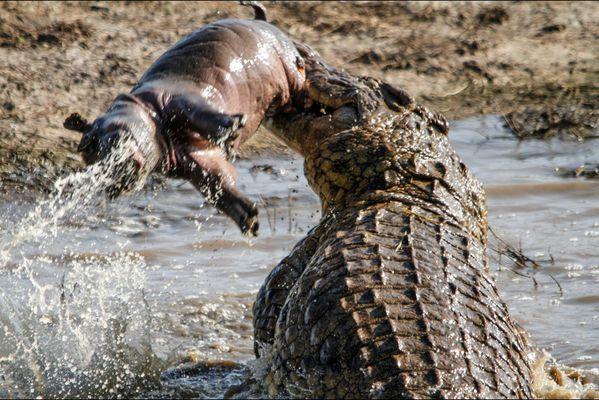 sem14aoub-Z14-Un-enorme-crocodile-et-un-jeune-hippopotame-e.jpg