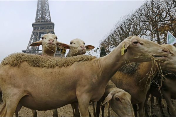 sem14novk-Z9-Moutons-contre-loups-Paris-Tour-Effel.jpg