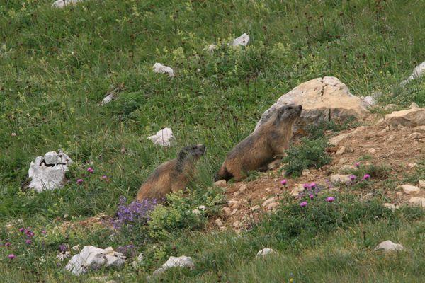 100730 Marmottes (5)