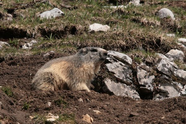 110416 Marmottes 011