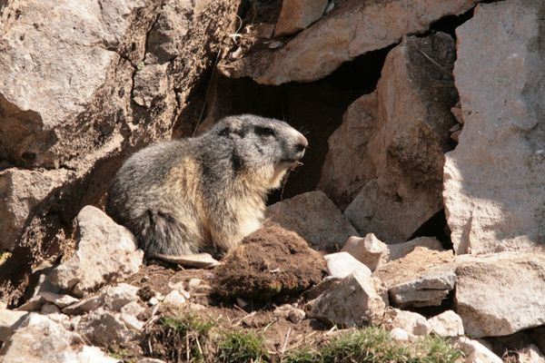 110416 Marmottes 034