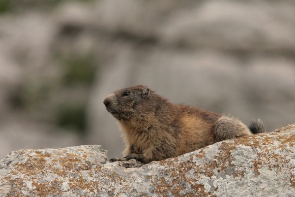 110616 Marmottes 036