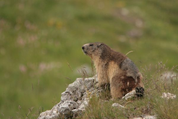 110616 Marmottes 037