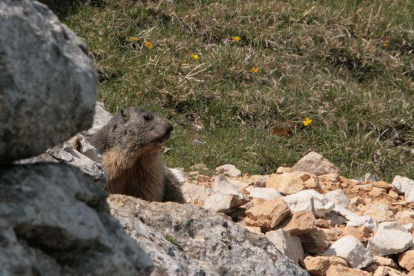 Marmotte 012