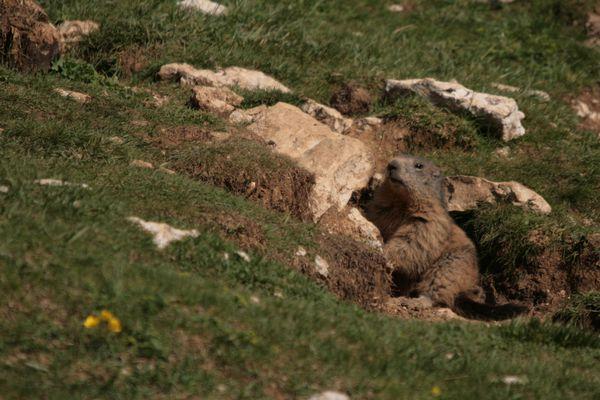 Marmotte 038