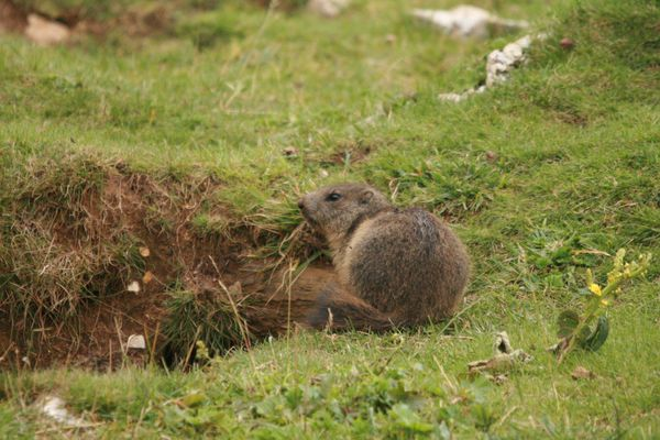 110728 Marmottes 005