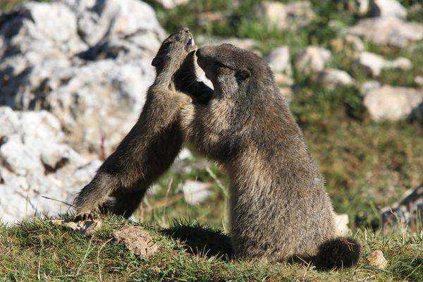 120809 Marmottes 034