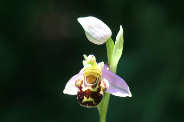 Ophrys abeillle 002