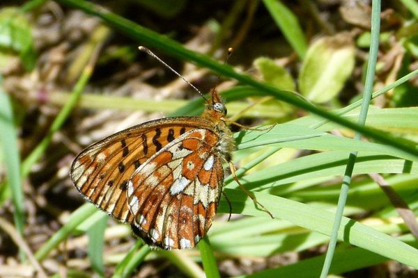 NY-Boloria-euphrosyne-Grd-Collier-argente-St-Jean-Bellevil.jpg