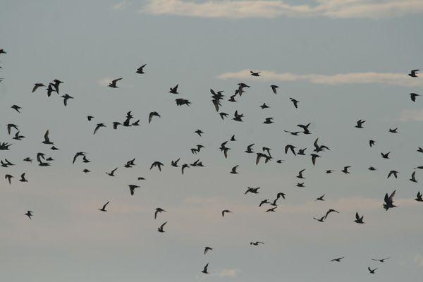 guifettes noires centaines