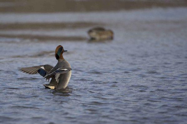 Sarcelle d'hiver mâle photo d'oiseaux de Picardie vallée de l'Ancre Benoit Henrion