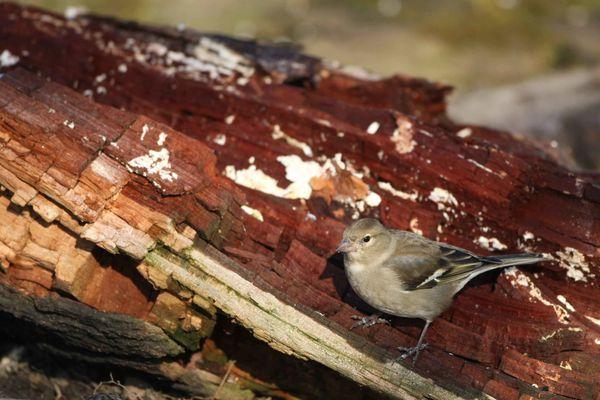 Pinson des arbres femelle photos d'oiseaux de Picardie Amiens Benoit Henrion