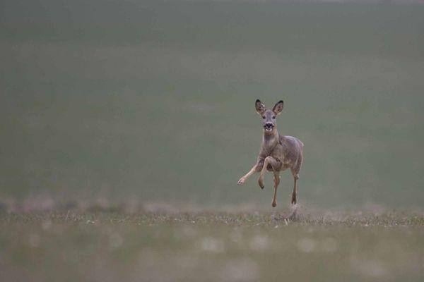 chevreuil qui court photo d'animaux de Picardie Camon Benoit Henrion