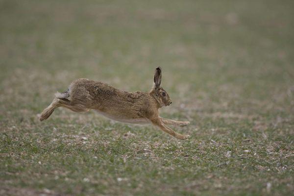 lièvre qui court photo d'animaux de Picardie Camon Benoit Henrion