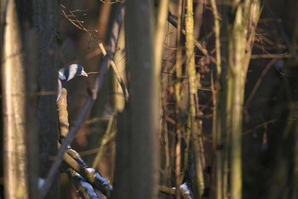 Pigeon ramier photo d'oiseaux de Picardie Amiens Benoit Henrion