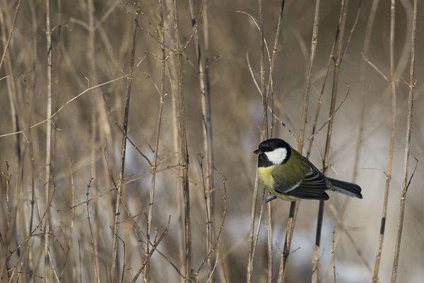 Mésange charbonnière photo d'oiseaux de Picardie Thiérache Benoit Henrion