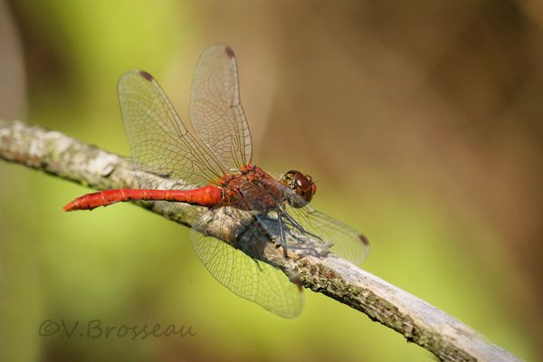 sympetrum-rouge1