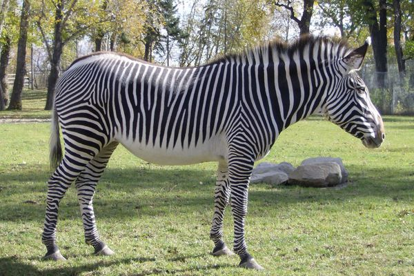 Grevy's Zebra wikipedia