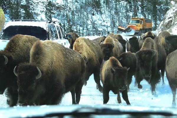 Cavalcade-de-bison-premieres-neiges---YNP-dr2.jpg