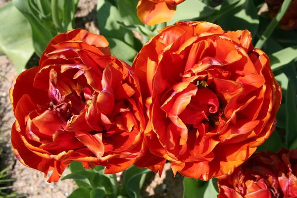 Tulipa 'Guillaume Orange' 17184 redimensionner