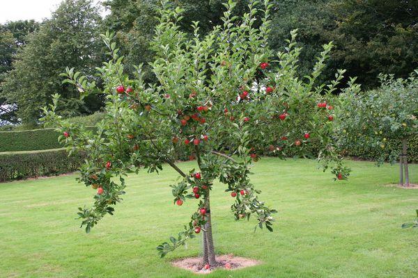 arbres fruitiers pour climat froid poiriers pommiers pruniers etc les conseils de jardin. Black Bedroom Furniture Sets. Home Design Ideas