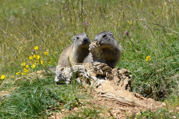 Marmottes 0701