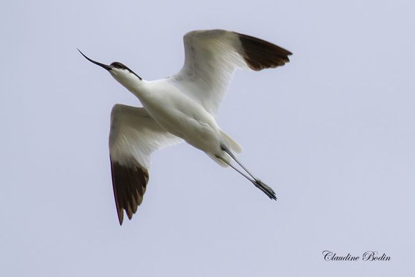 Avocette-en-vol MG 3235