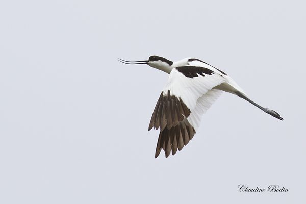 Avocette-en-vol MG 3347