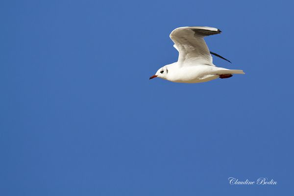 Mouette-rieuse MG 6903