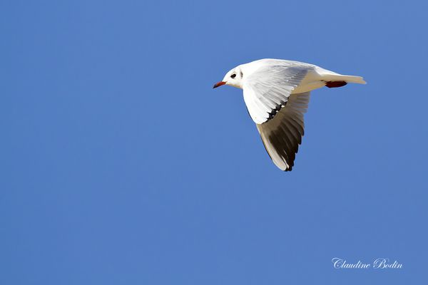 Mouette-rieuse MG 6904