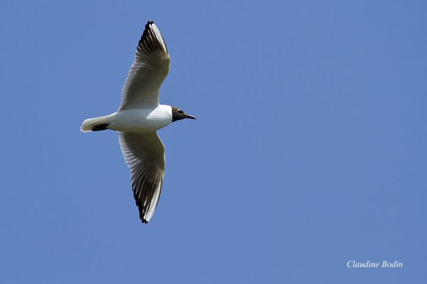 Mouette-rieuse MG 8230