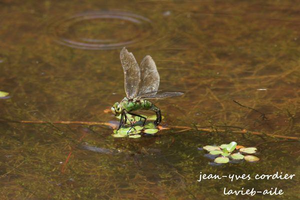 libellule-anisoptere 3426