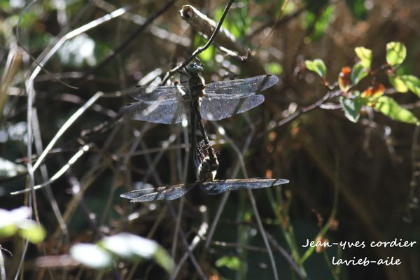 libellule-anisoptere 3707