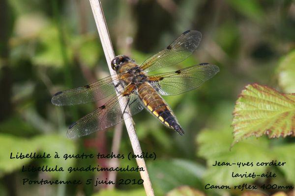 libellule-quatre-tache 0329