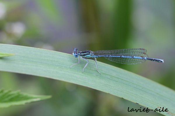 platycnemis-pennipes-3154c.jpg