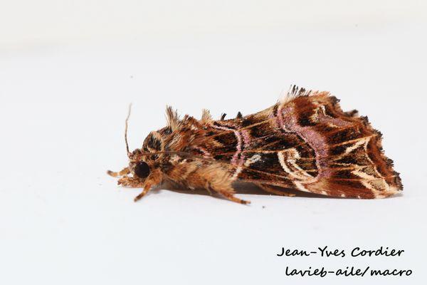 callopistria-juventina-noctuelle-fougere 7391cc