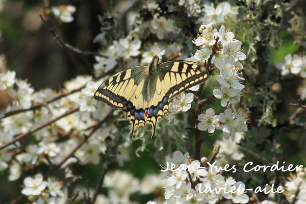 machaon-7916c.jpg