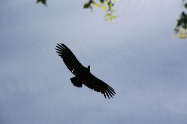 Condor-oct2010.JPG