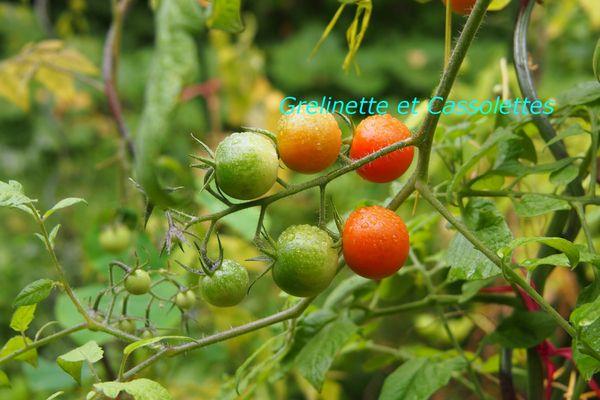 TomatesT-copie-1.jpg