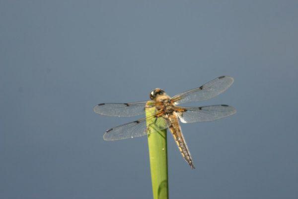 libellule à 4 taches anisoptère