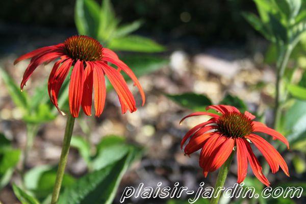 Echinacea-purpurea-Tomato-Soup.jpg