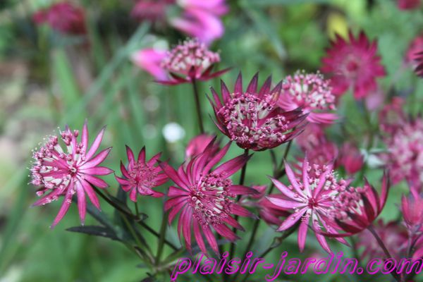 astrantia--ruby-star-.jpg