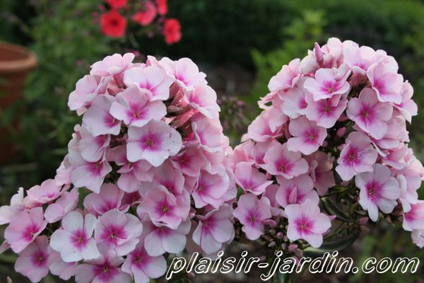 Phlox-paniculata--bright-eyes--2.jpg